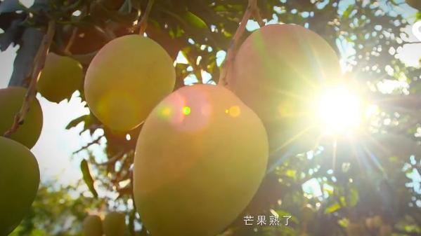 甜到心里!你知道百色芒果为何那么甜吗?