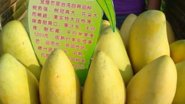 百色——全国最大芒果生产基地